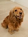 Amelia, an English Cocker Spaniel.jpg