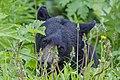 American black bear (Ursus americanus) - Jasper National Park 04.jpg