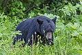 American black bear (Ursus americanus) - Jasper National Park 06.jpg