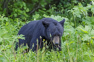 watch out! black bear