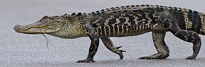 Archosauriformes - American alligator (A. mississippiensis)