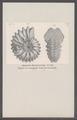 Ammonites benettianus - - Print - Iconographia Zoologica - Special Collections University of Amsterdam - UBAINV0274 091 01 0038.tif