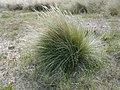 Ammophila arenaria. Barrón.jpg