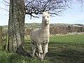 An alpaca at Broomilees Farm - geograph.org.uk - 373167.jpg