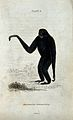 An ape of the genus hylobates syndactyla standing before a t Wellcome V0020759ER.jpg