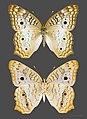 Anartia jatrophae MHNT Guadeloupe female.jpg