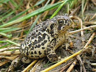 Wyoming toad Species of amphibian