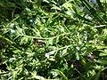 Anchusa arvensis subsp. orientalis sl15.jpg