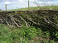 Ancient craft of hedgelaying - geograph.org.uk - 164974.jpg