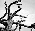 Ancient tree 古树 (7567743642).jpg