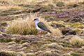 Andean Lapwing (Vanellus resplendens) (4856947598).jpg