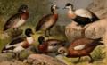 Andfåglar, till art, Nordisk familjebok.png