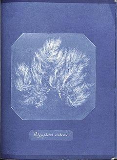 Anna Atkins Polysiphonia violacea