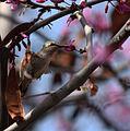 Annas Hummingbird (3388395243).jpg