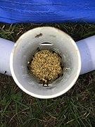 Ant nest in my swimming pool (4).jpg