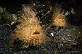 Antennarius striatus (14911110794).jpg