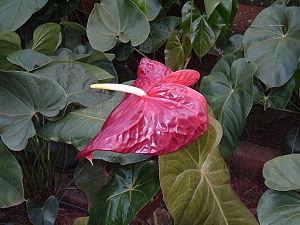Große Flamingoblume (Anthurium andraeanum)