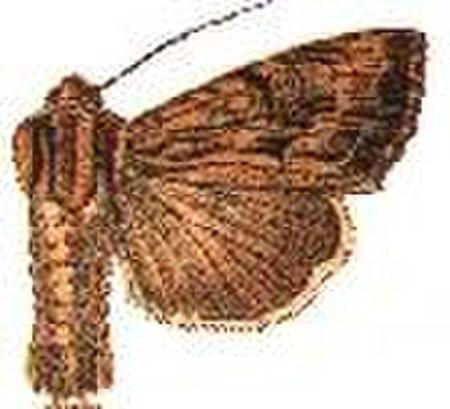 Apamea vulgaris