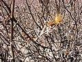 Aphyllocladus denticulatus (Asteraceae) (33761222250).jpg