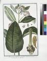 Apocynum latifolium incanum Syriacum erectum - Apocino - Apocin (NYPL b14444147-1124966).tiff