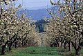 Apple blossoms, Hood River Valley (37003557736).jpg