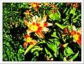 April Tulpe Freiburg Botanischer Garten - Master Botany Photography 2013 - panoramio (1).jpg