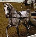 Arabian Fine Harness Horse (2668755599).jpg