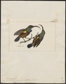 Arachnothera lotenia - 1820-1860 - Print - Iconographia Zoologica - Special Collections University of Amsterdam - UBA01 IZ19000167.tif