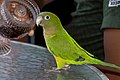 Aratinga pertinax -pet standing on a table-8a.jpg