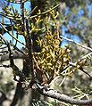 Arceuthobium divaricatum 6.jpg