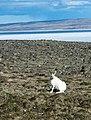 Arctic Hare (2738917237).jpg