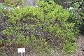 Arctostaphylos stanfordiana - Regional Parks Botanic Garden, Berkeley, CA - DSC04354.JPG