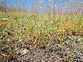 Arenaria serpyllifolia - thymeleaf sandwort - Flickr - Matt Lavin (5).jpg