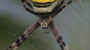 File:Argiope bruennichi (female).ogv