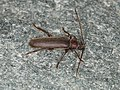 Arhopalus rusticus (41322471230).jpg