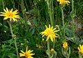 Arnica montana ENBLA07.jpg