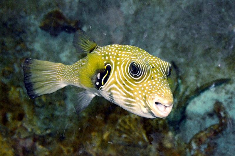File:Arothron hispidus at Alexandria Aquarium by Hatem Moushir 1.JPG