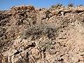 Artemisia bigelovii — Matt Lavin 006.jpg