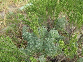 Alpine-steppe - Artemisia capillaris