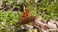File:Asian Comma (Polygonia c-aureum).webm
