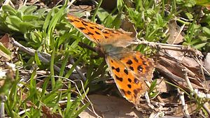 Файл:Asian Comma (Polygonia c-aureum).webm