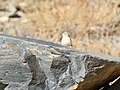 Asian Desert Warbler (Sylvia nana) (37574880574).jpg