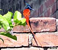 Asian paradise flycatcher - panoramio.jpg