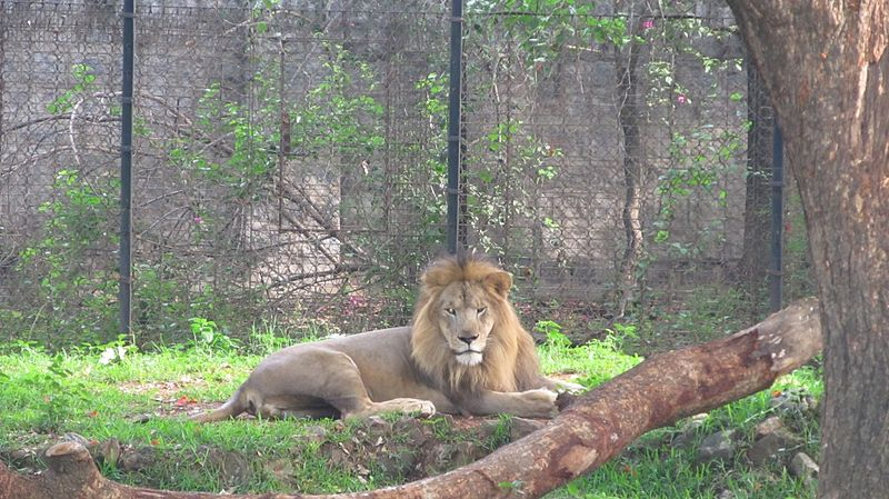 దస్త్రం:Asiatic Lion 2 Mysore Zoo cmprsd.jpg