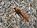 Asilus crabroniformis (Hornet robberfly), Veluwezoom, the Netherlands.jpg