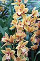 Asparagales - Cymbidium 'Latigo' Cooksbridge Sunset - 2.jpg