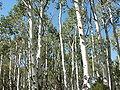 Aspen (Populus tremuloides) 02.jpg