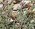 Astragalus oophorus var clokeyanus 6.jpg