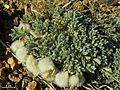 Astragalus purshii - Flickr - pellaea.jpg