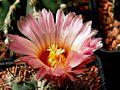 Astrophytum flower 322.jpg